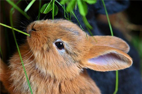 梦见喂兔子