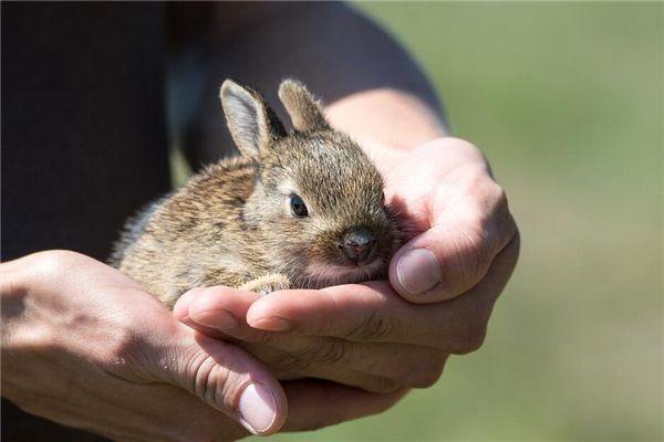 梦见逮兔子