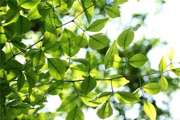 梦见摘树叶