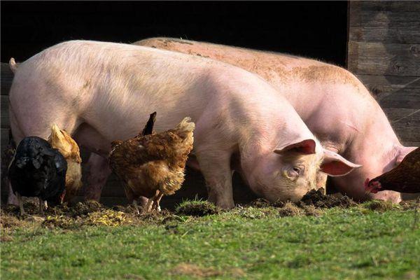 梦见猪吃食