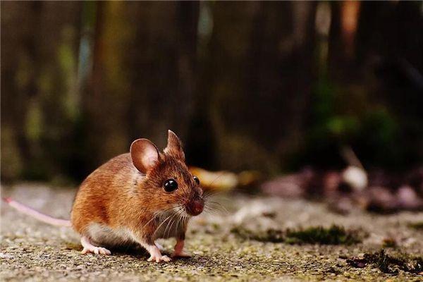 梦见吃老鼠