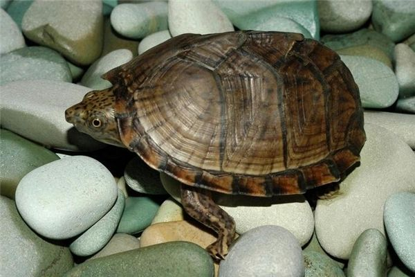 梦见吃乌龟