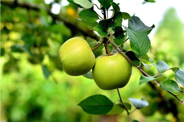 梦见吃青苹果