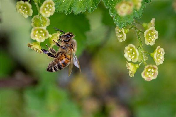 梦见被蜂蜇