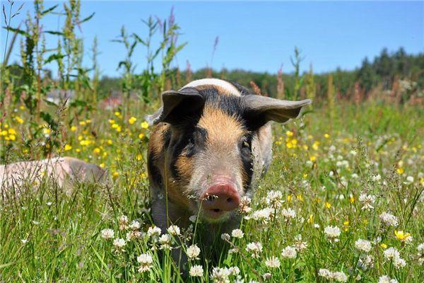 梦见猪内脏
