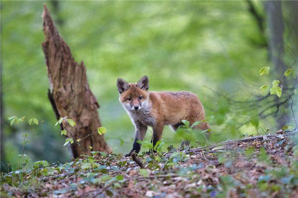 梦见狐狸皮