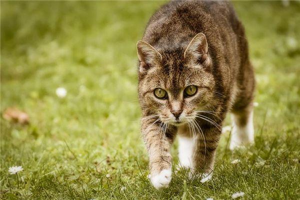 梦见猫跟着我