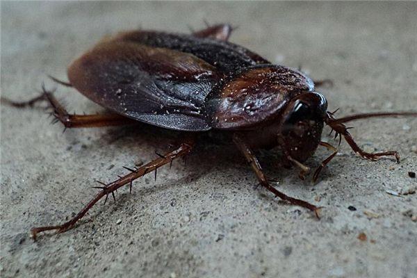 梦见大蟑螂
