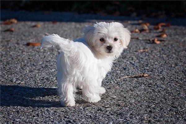 梦见白色狗