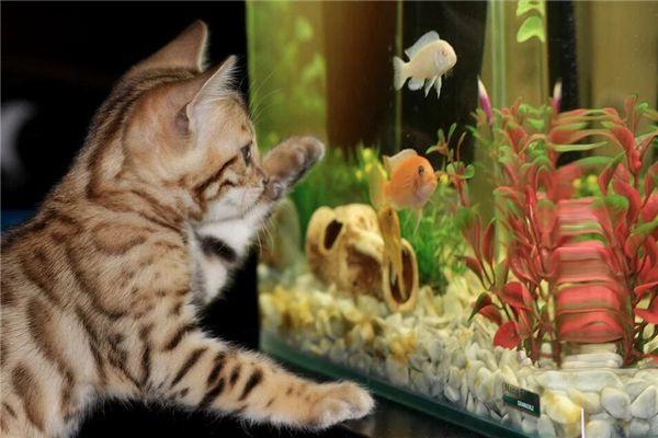 梦见猫抓鱼