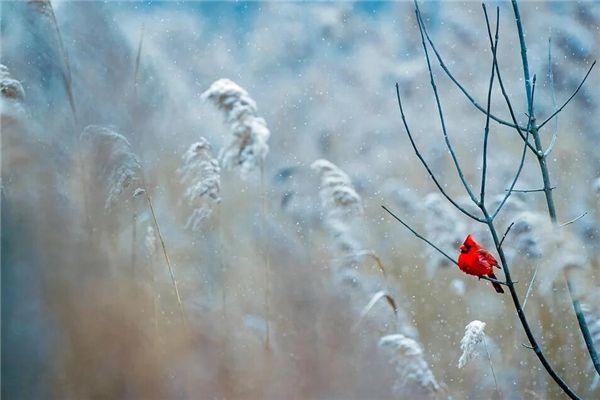梦见红色鸟