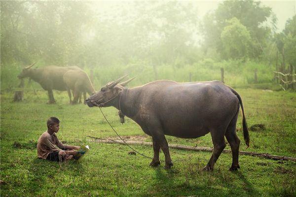 梦见水牛吃草