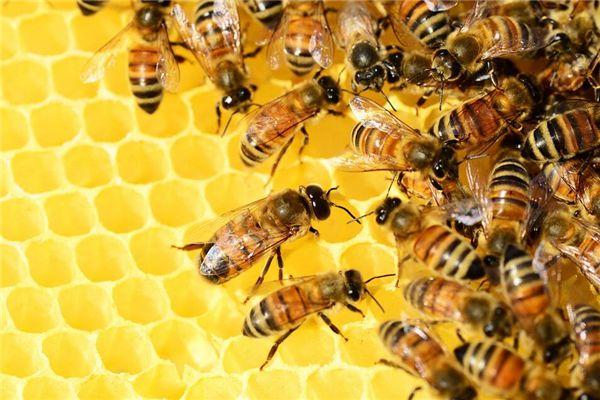 梦见好多蜜蜂