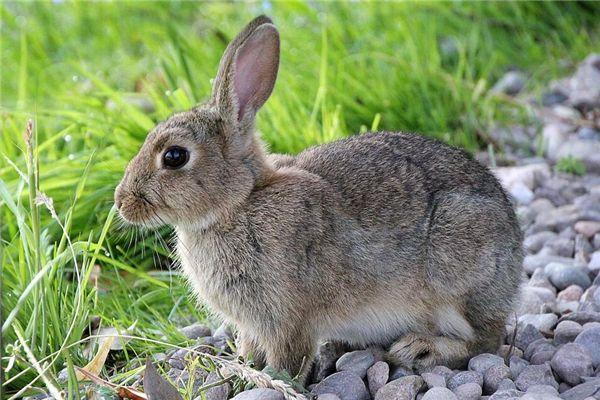 梦见兔子死