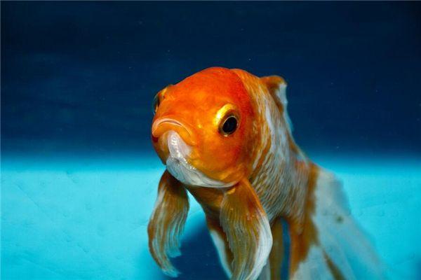 梦见鱼会说话