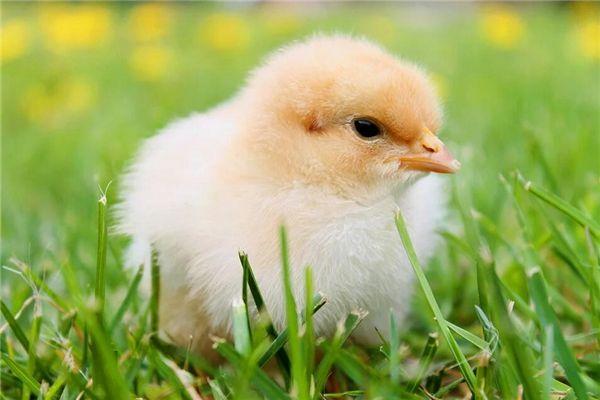 梦见抓小鸡
