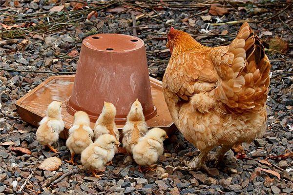 梦见好多小鸡