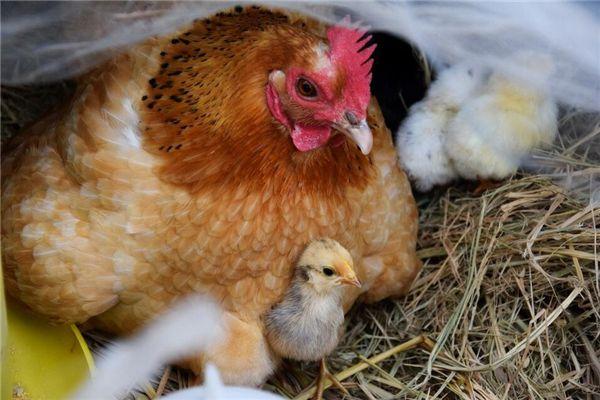梦见孵小鸡