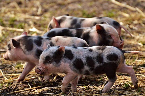 梦见很多小猪