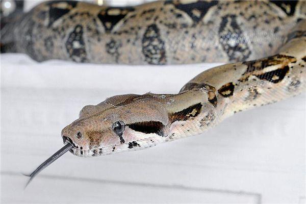 梦见家有蟒蛇