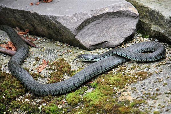 梦见黑色大蛇