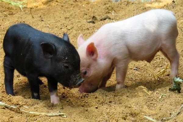 梦见两只小猪