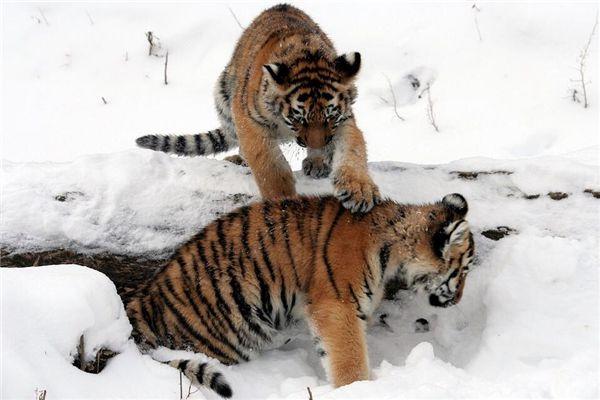 梦见三只小老虎