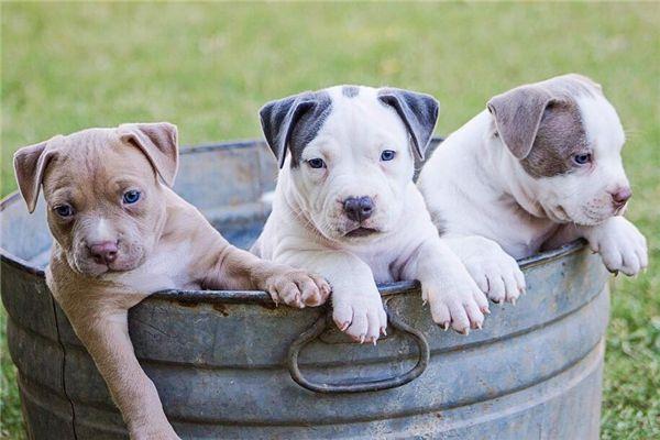 梦见三只狗在地上拴着