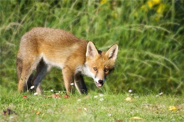 梦见打狐狸