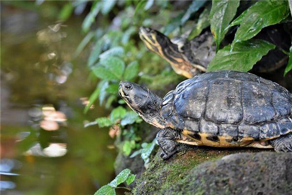 梦见大乌龟