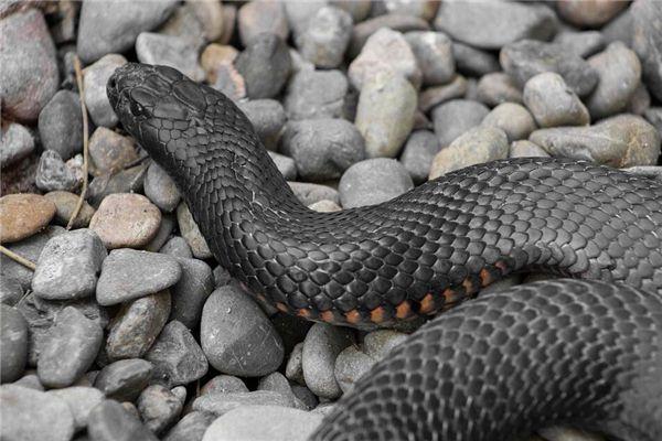 梦见大黑蛇