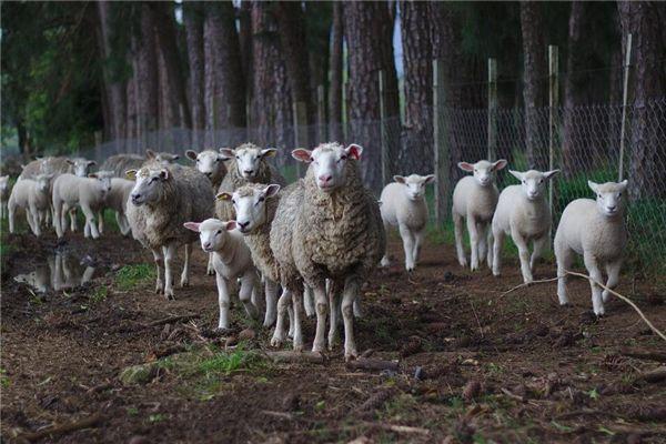 梦见赶一群羊