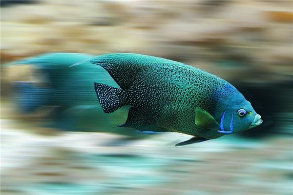 梦见蓝色的鱼