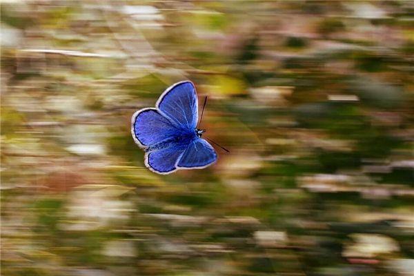 梦见蓝色蝴蝶