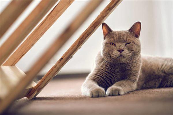 梦见蓝色的猫