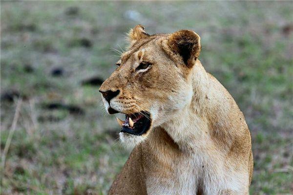 梦见白狮子