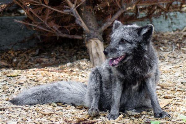 梦见黑狐狸