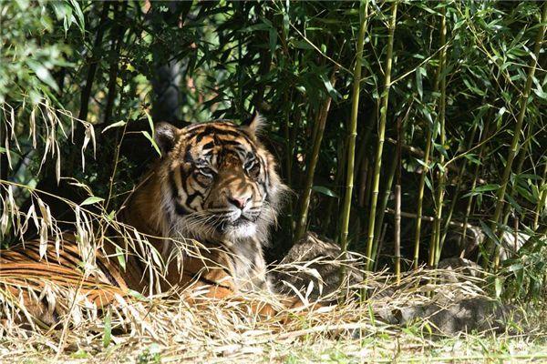 梦见老虎睡觉