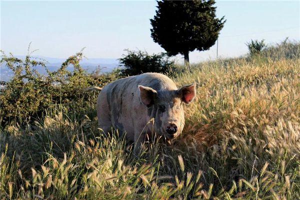 梦见猪和猪屎