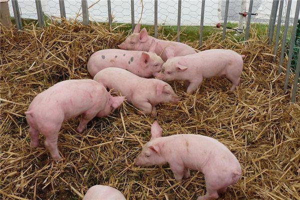 梦见猪吃鱼