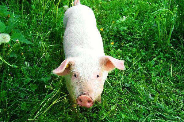 梦见一头白猪