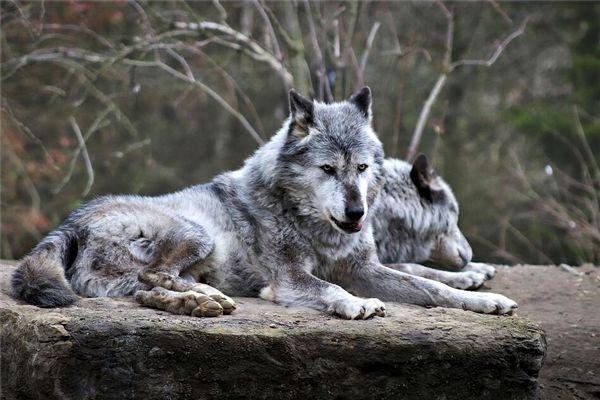 梦见大灰狼