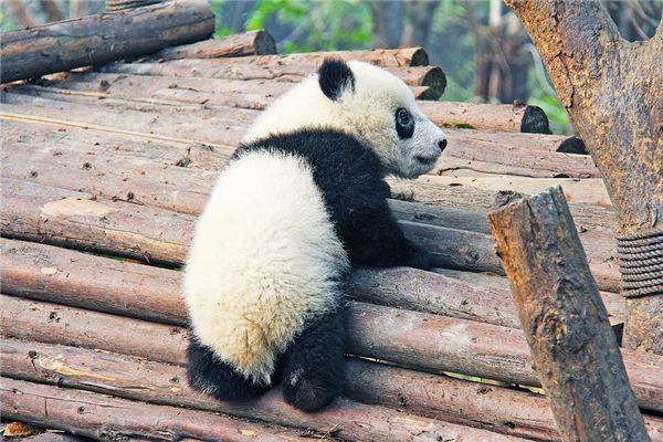 梦见大熊猫