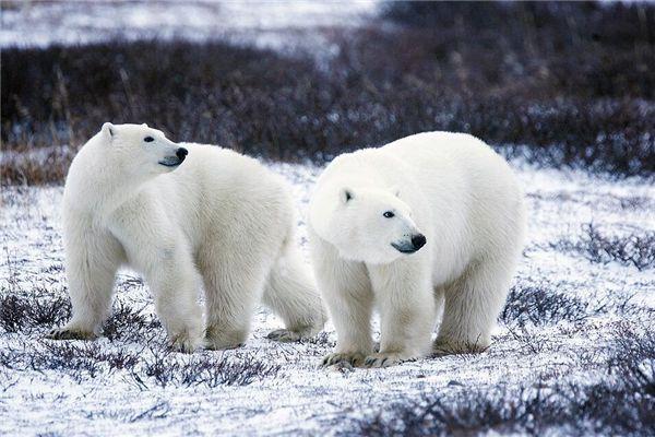 梦见大白熊