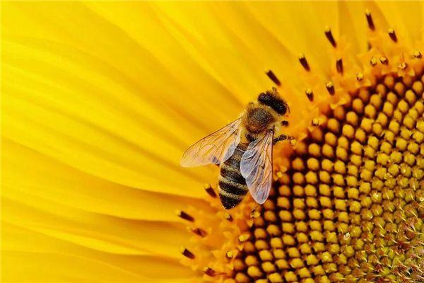 梦见小蜜蜂