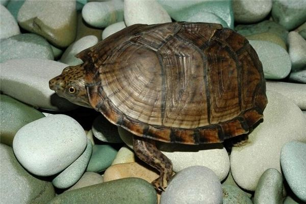 梦见乌龟脱壳
