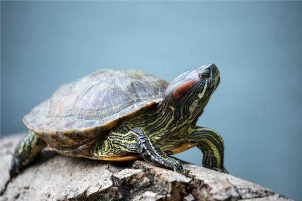 梦见白色乌龟