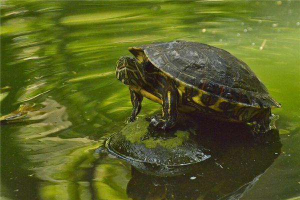 梦见绿色乌龟
