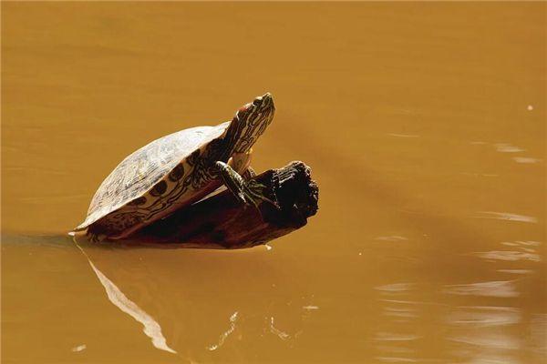 梦见乌龟打架