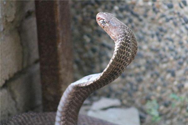 梦见很多大蛇